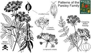 Herb Plant Identification Chart Apiaceae Parsley Or Carrot Family Identify Herbs Plants