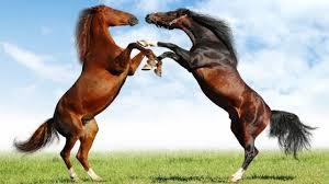 wild horses mustang fighting. Fine Fighting Amazing Wild Horses Fighting With Mustang I