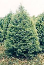 Image result for ​White Pine Trees