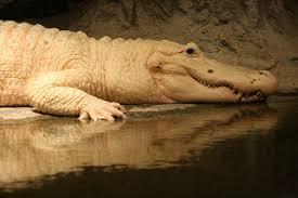 white alligator audubon zoo. white alligator audubon zoo new orleans louisiana usa o