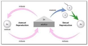 Sssc Unit 2 Biology Topic 11 Asexual Reproduction Diagram