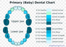 Deciduous Teeth Human Tooth Diagram Chart Png 905x640px