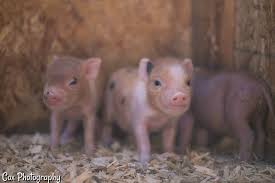 What to expect when your pig is expecting. mini pig pregnancy.