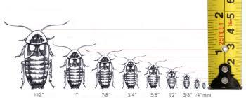Dubia Roach Growth Chart Organic Dubia Roaches Dubia Roach Depot