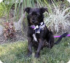 scottish terrier mix. Modren Terrier Adopted For Scottish Terrier Mix R