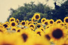 Desktop Aesthetic Sunflower Wallpapers ...