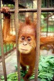 Bildresultat för orangutang bebis