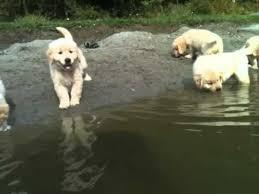 golden retriever puppies swimming. Unique Retriever 7 Weeks Old Butternut Golden Retriever Puppies 1st Swim In Puppies Swimming G