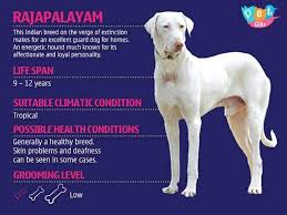 Image result for rajapalayam dog