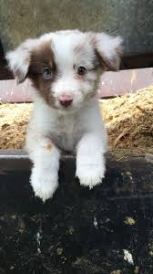 cute puppies with blue eyes. Brilliant Eyes Adorable Blue Eye Dog Photo Intended Cute Puppies With Eyes U