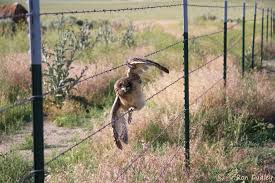 Another Nasty Encounter Between An Owl And A Barbed Wire Fence