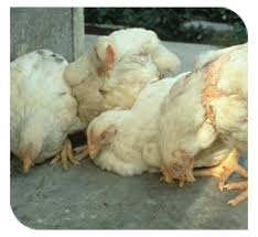 Chicken Disease Chart Disease Control And Management
