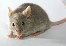 MÉDECINE. Les souris ont tout pour plaire