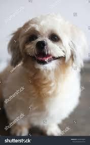 White Shih Tzu Dog Stock Photo (Edit ...
