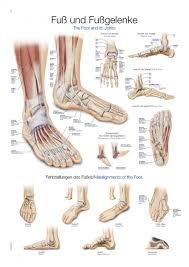 Ankle Bone Chart Chart Foot And Ankle 70xx100cm