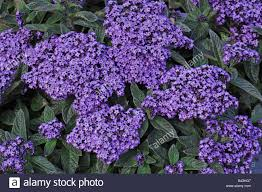 cherry pie garden heliotrope heliotropium arborescens heliotropium peruvianum variety incenser flowering