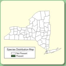 Linaria repens - Species Page - NYFA: New York Flora Atlas