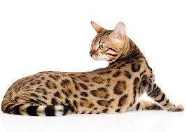 white bengal cat. Plain Cat Bengal Cat Lifespan Intended White