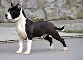 black american staffordshire terrier. Brilliant Black American Staffordshire Terrier Puppy  DogSpotin  With Black O