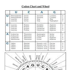 Codon Chart Circle Codon To Amino Acid Circle Chart Worksheet Answers