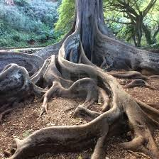 Buttressed roots, Moreton Bay Fig tree ...