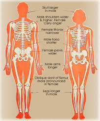 Keeping your torso upright, bend your knees to lower yourself into a squat position. Differences Between Male And Female Skeletons Heads And Muscles