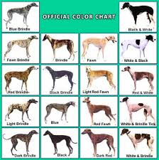 Brindle Color Chart Best Questions About Greyhounds Doggypure Com
