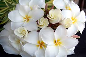 a plumeria branch forms a beautiful white bouquet of flowers