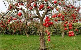 blackberry fruit tree wallpaper. explore tree wallpaper, cool and more! blackberry fruit wallpaper