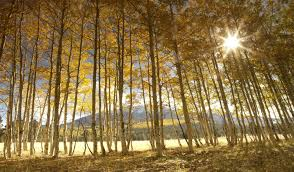 conservancy protecting preserving life sun shining through aspen grove in the fall hart prairie preserve arizona photo credit acirccopy mark skalny