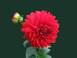 blossom plant flower petal bloom isolated red dahlia ilration gerbera flowering plant daisy family asterales annual