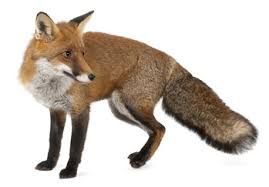 fox pest control reviews. Wonderful Pest Fox Pest Control London Foxes For Reviews R