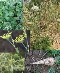 Apiaceae - Wikipedia