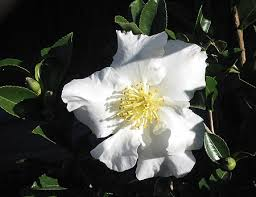 the meaning in anese is flower white as a snow reflected by the moon introduced in an originated in tokyo spread to saitama