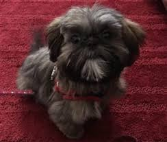 Shih Tzu Age Stages And Information