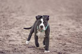 american bulldog pitbull mix. Delighful Bulldog American Pitbull To Bulldog Mix
