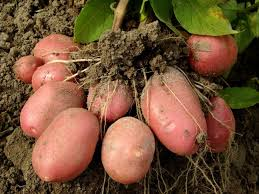 Картинки по запросу картофель на огороде