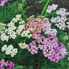 Yarrow Plant Pictures Home Design Software Free Interior And ...