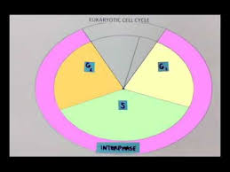 Cell Cycle Pie Chart Cell Cycle Pie Chart Youtube