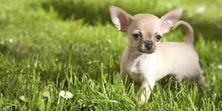 15 miniature dog breeds that are just too cute
