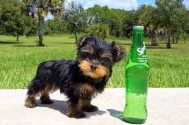 micro teacup yorkie puppies for