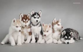 really cute baby husky puppies with blue eyes. Exellent Blue Difference Between Alaskan Malamute Siberian Husky And   Animalso Throughout Really Cute Baby Puppies With Blue Eyes I