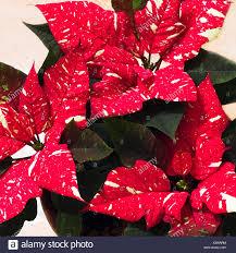 Weiß Gesprenkelten Weihnachtsstern Oder Euphorbia