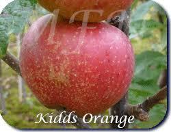 AppleTrees Kidd's Orange Red