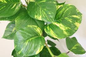 house plants. Image Result For Philodendron House Plants