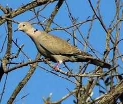 Mourning Dove Identification All About Birds  Cornell Lab Of Backyard Bird Watch