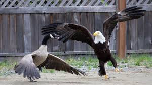On Battle - Eagle Youtube Canada Out It Camera Goose Bald Caught
