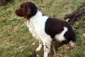 english springer spaniel mordor gun dogs