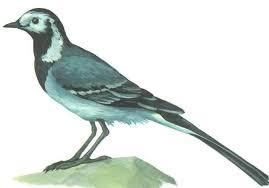 Перелетные птицы Ласточка Трясогузка Путешествие по Карелии Трясогузка