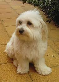 silky dog white. a soft, thick coated, tan silkese dog sitting on yellow brick walkway, silky white e
